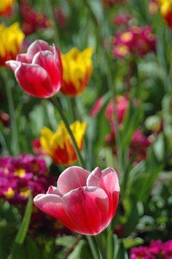 Tulipes au Pré Catelan