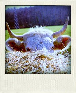 Shy cow