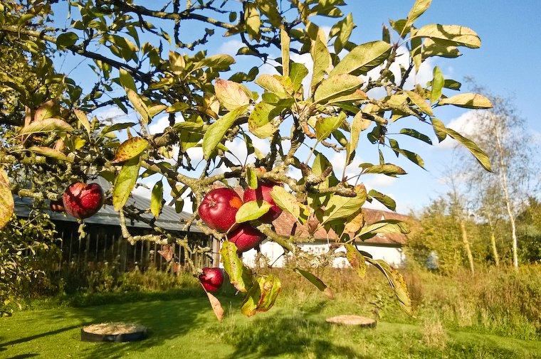 Un pommier du jardin de La Grenouillère, où nous nous sommes échappés le temps d'un sublime weekend d'automne.