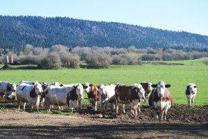 Vaches montbéliardes dans le Jura.
