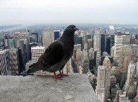 newyork_pigeon