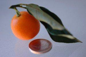 kumquatcorse