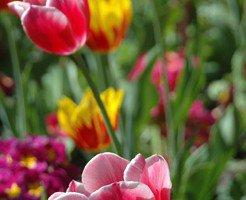 tulipes_pre_catelan