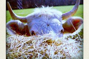 vache-pola