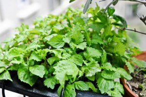 43 Brilliant Shiso Recipes