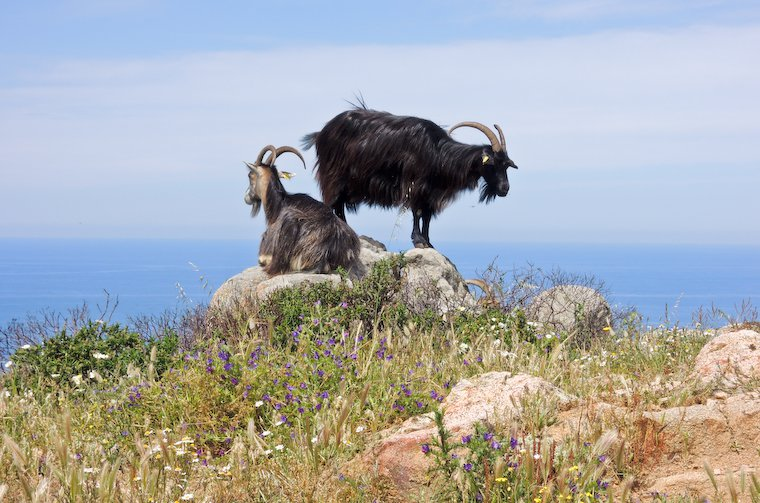 Goats in Corsica