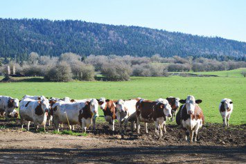 Montbéliard cows, just chillin'.
